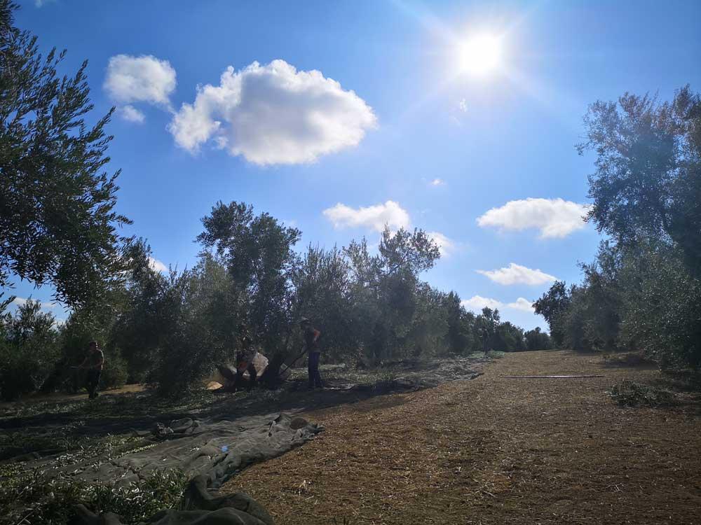 Origen del olivar casablanca en jaén